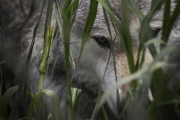 Wolf sanctuary of PA located next to Speedwell Forge B&B