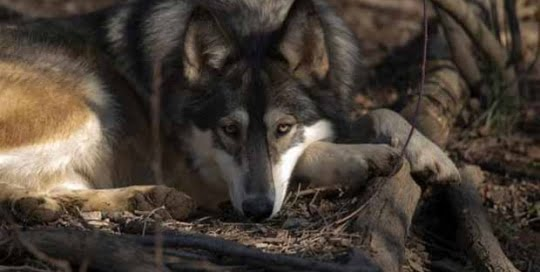 Wolf Sanctuary of PA at Speedwell Forge Bed & Breakfast