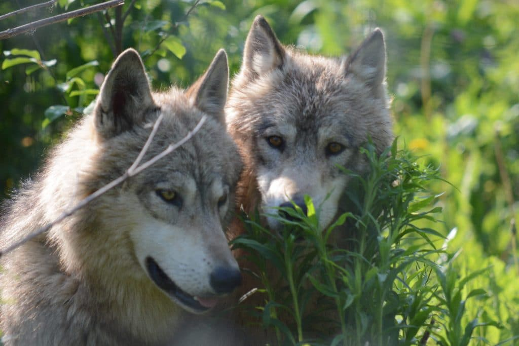 Wolves at Speedwell Forge Bed & Breakfast